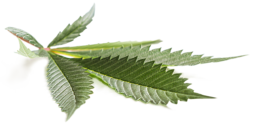 Side Profile Marijuana Leaf