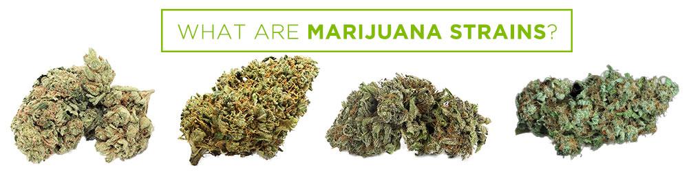 what are marijuana strains